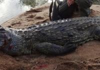 Crocodile-23