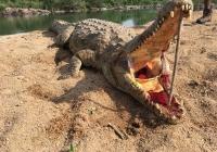 Crocodile-42