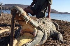 Crocodile-28