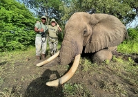 Elephant-147