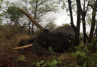 Elephant-56