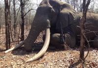 Elephant-71