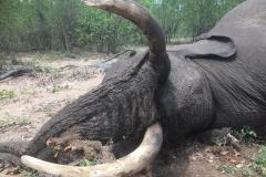 Elephant-143