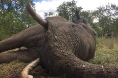 Elephant-150