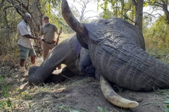 Elephant-154