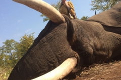 Elephant-67