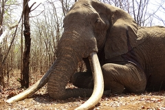 Elephant-74