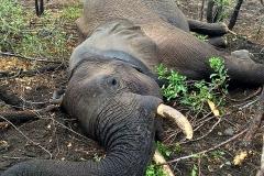 Elephant-87