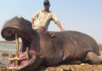 Hippo-33