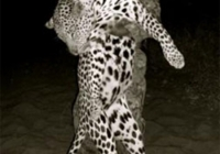 leopard-hunting-02