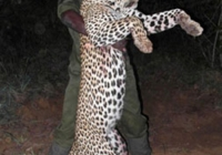 leopard-hunting-08