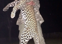 leopard-hunting-12