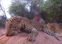 leopard-hunting-15