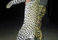 leopard-hunting-20