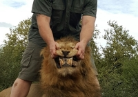 Lion-18