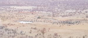 Buffalo Herd 1000