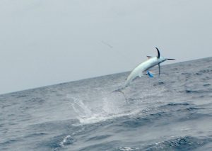 Jumping Black Marlin