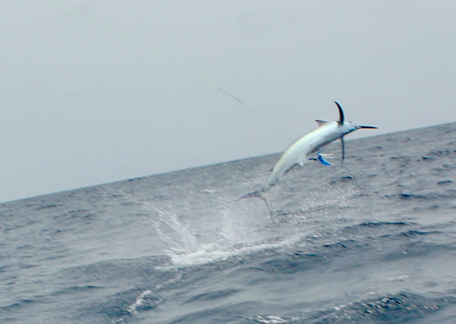 Jumping Black Marlin